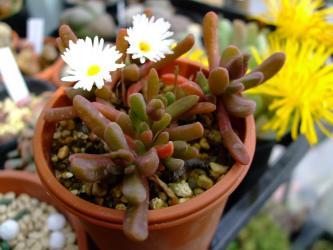 デロスペルマ 細雪(ささめゆき)(Delosperma esterhuyseniae )茶褐色に紅葉ちゅう~花芽がたくさん見えます!2012.03.19