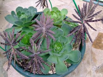グリーノビア オーレア(玉姫椿)(Greenovia aurea)まとめて寄せ植えにしてありました!!2012.03.18の様子