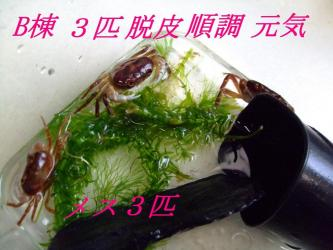 沢蟹B棟~3匹ほぼ皆脱皮成功して五体満足元気です!2012.03.23