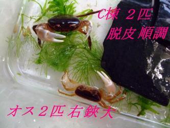 沢蟹C棟~2匹~順調元気です。2012.03.23