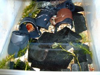 沢蟹衣装ケース水槽の中~水交換後キレイです(ちなみにB棟)2012.03.23