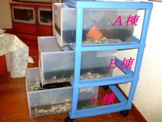 3段沢蟹衣装ケース水槽~ちょっと水の重みでゆがんできました!危ない!2012.03.23