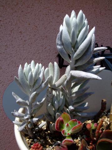 セネシオ  銀月(ぎんげつ)(Senecio haworthii)寄せ植え左側~水やり後、回復しました!充分元気です!2012.04.01