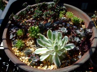 センペル・オロスタキス・セダム寄せ植え~2012.04.04