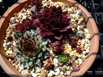 色とりどりのセンペルオロスタキス寄せ植え~やっと根着いてきました!2012.04.04