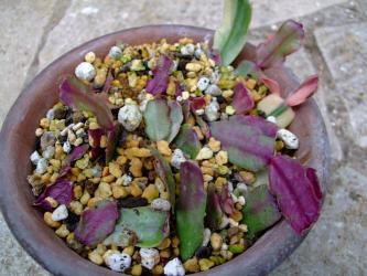 蟹葉サボテン(Schlumbergera bridgesii)シュルンベルゲラ ブリジシー挿し芽苗~2012.04.03