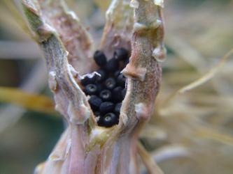 レウクテンベルギア属 光山(こうざん)Leuchtenbergia principis かなり大粒の種にビックリです。2012.04.07