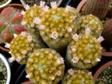 やっと咲き始めました~マミラリア 赤刺カルメナエ (Mammillaria carmenae)2012.04.16