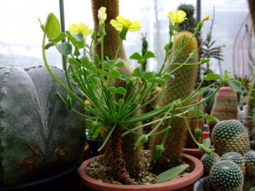 艶カタバミ(Oxalis carnosa)の塊根はいつの間にやら地上に出て毎年木質化して再生します!2012.04.16