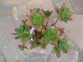 アエオニウム 夕映え/キュオニウム(Aeonium decorum f.variegata) 2012.04.18