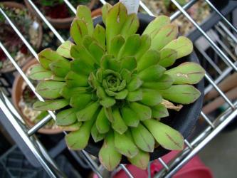 アエオニウム アイズーン(Aeonium aizoon)でしょうか?ミックス交配種?2012.04.28