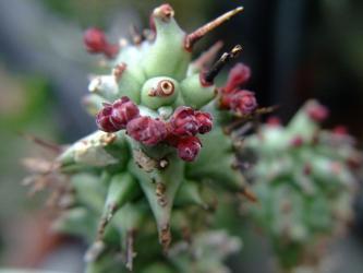 ユーフォルビア ホリダモンスト (Euphorbia horrida f. monstrosa)綴化のホリダ~赤い花芽が上がってきました!2012.04.22