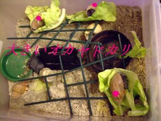 冬を乗り越え~大きいオカヤドカリ3匹勢ぞろい~♪2012.04.23