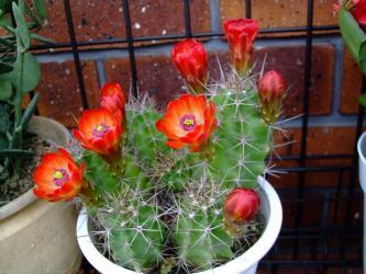 エキノケレウス 多刺蝦(タシエビ)(Echinocereusu polyacanthus)朱赤の花が咲き始めました!2012.04.29