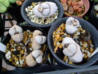 ディンテランサス 奇鳳玉(きほうぎょく)(Dintheranthus microsperum)種鞘が・・・開いて弾けて~翌日?え~っ?閉じてます!2012.04.30