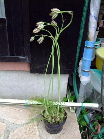 アルブカ フミリス(Albuca humilis)長い花茎と白と緑のストライプ花が特徴です!2012.05.01