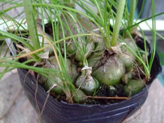 アルブカ フミリス(Albuca humilis)の丸い球根もうポットいっぱいです(´ヘ`;)2012.05.01