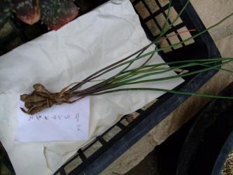 ハオルチア デラステンシス(H. derustensis)細くて細長い深緑の葉~2011.03.10