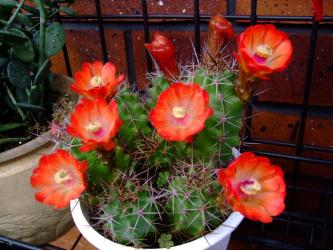 エキノケレウス 多刺蝦(タシエビ)(Echinocereusu polyacanthus)朱赤の花がいっぱいです!2012.05.03