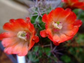 エキノケレウス 多刺蝦(タシエビ)(Echinocereusu polyacanthus)朱赤の花~2012.05.03