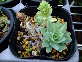 オロスタキス 鳳凰(黄中斑)(Orostachys malacophylla v.iwarenge f.variegata)右手前にこぼれ種発芽しているのは・・・もしや~♪も~しやに?中斑入り出るかしら?まさか・・・2012.05.03