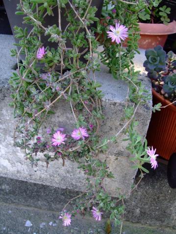 Drosanthemum floribundum ドロサンセマム フロリブンダム ~和名:花宝生(ハナホウショウ)?銀緑輝(ギンリョッキ)? 2012.05.10