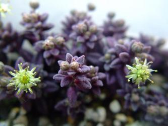 モナンテス ムラリス(Monanthes muralis) 紫色で~す♪花は黄色です♪2012.05.07
