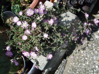 花宝生(ハナホウショウ)(Drosanthemum floribundum)ドロサンセマム フロリブンダム2012.05.14