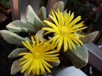 シュワンテシア トリブネリー(Schwantesia triebneri)Schwantesia triebneri 鳥舟(とりぶね)白肌の葉~開花しました!2012.05.13