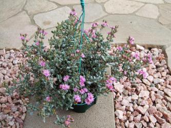 ハマミズナ科 オスクラリア属 白鳳菊(Aizoaceae Oscularia pedunculata) 昨年よりも花が多いです♪2012.05.1218