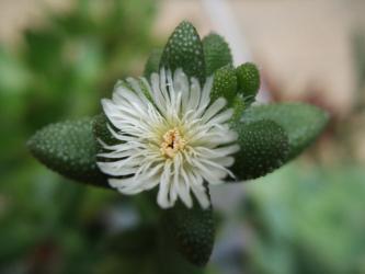 デロスペルマ エキナーツム(Delosuperma echinatum) クリーム白花~花笠(はなかさ)今年は花が大きい感じです♪ 2012.05.18