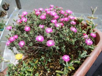 トリコディアデマ稀宝(きほう)Trichodiadema barbatum~木質化して満開です!2012,05,18