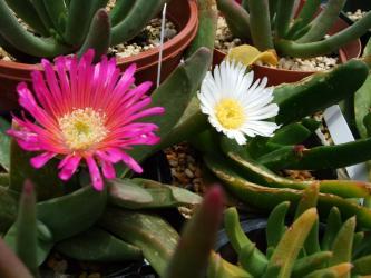 グロッチフィルム(Glottiphyllum sp.)濃いピンク花 と美しい白花~一緒に咲いています!2012.05.16