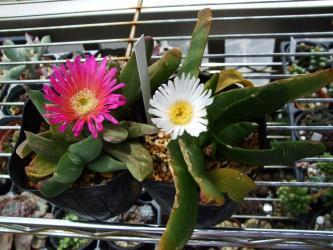 グロッチフィルム 美しい白花~花芯黄色 不明種(Glottiphyllum sp.)咲いています!2012.05.16
