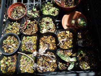 オロスタキス岩蓮華のこぼれ種発芽~2012.05.16芽吹きの頃は何だかわかりません~♪