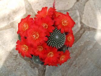 レブチア 緋宝丸(ひほうまる)Rebutia krainzianaいっぱい咲いてます!2012.05.20