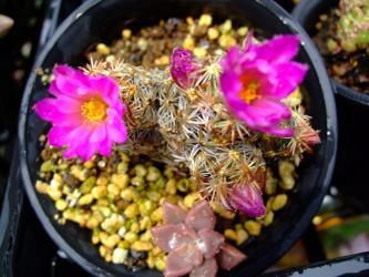 エスコバリア ミニマ (Escobaria minima) 蕾がいっぱい開花中2012.06.01