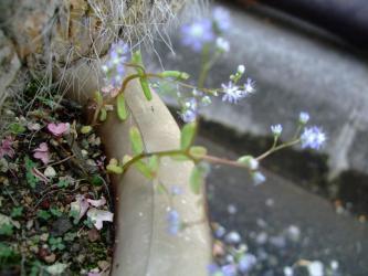 セダム カウルレア(Sedum caeruleum) こぼれ種実生&勝手にこぼれ種発芽~開花2012.06.04