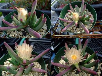 キリンドロフィルム コンプトニー (Cylindrophyllum comptonii).2012.06.04~06.08開花しました。