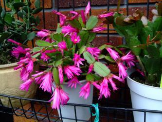 イースターカクタス(紫ピンク)開花~2012.06.08~今年は3株夏越できました!雨が少なかったせいかしら。