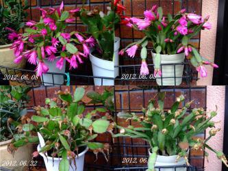 イースターカクタス(Epiphyllopsis gaertneri)= (Rhipsalidopsis gaertneri)= (easter cactus)の開花&結実~2012.06.22