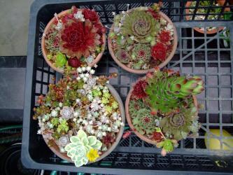 センペルビウム・オロスタキス・セダムなどいろいろ寄せ植え~♪2012.06.12