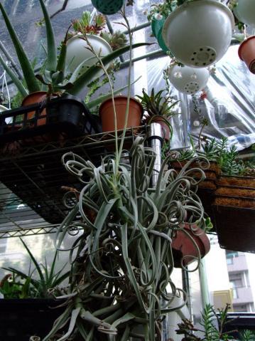 チランジア ドゥラティー(Tillandsia duratii)~花茎付けっ放し~2本花が咲いて終わりました!2012.06.14