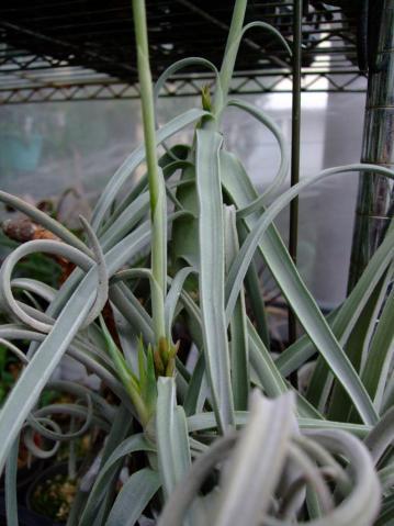 チランジア ドゥラティー(Tillandsia duratii)~花後~花茎の根元近くに?この新芽は?何?花芽?それとも子供でしょうか?2012.06.14