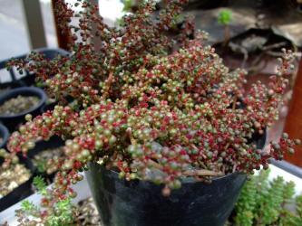 """ピレア セルフィラケア グロボーサ(露鏡)Pilea serpyllacea """"Globosa"""" 3月~4ヶ月大盛りになりました!濃い赤花盛りです!2012.06.17"""