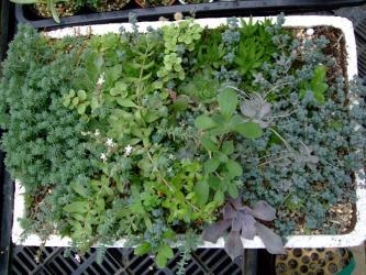多肉3年植えっぱなしで枯れ枯れしていたセンペルバッド2012.04.27が~こんなに茂っています!2012.06.19
