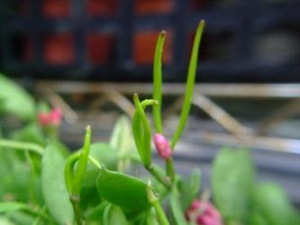 ディスキディア ペクテノイデス(Dischidia pectenoides)カンガルーポケット、フクロカズラ~花の跡に角種鞘が?できています!2012.06.21