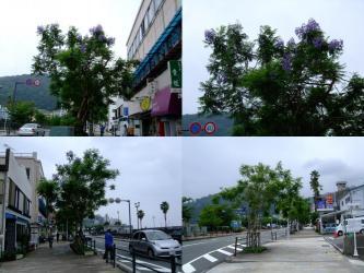 熱海の海岸道路に植えられつつあるジャカランダ~青紫の花を咲かせています!2012.06.24