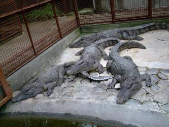 ワニ園の巨大ワニ~♪熱川バナナ・ワニ園本園~2012.06.24
