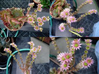 センペルビウムの満開の様子~♪こんなに花序が長いのよ~♪2012.07.08